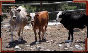 vaca baladi